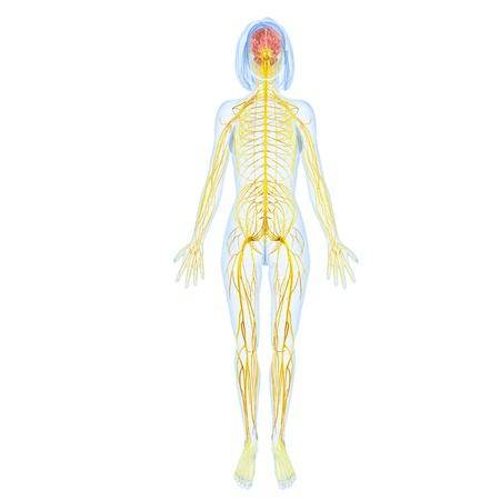 sistema nervioso: sistema nervioso femenino de cuerpo completo vista posterior Foto de archivo