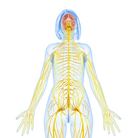female nervous system front view from down photo