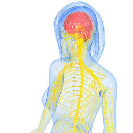 female nervous system side view Stock Photo - 15181747