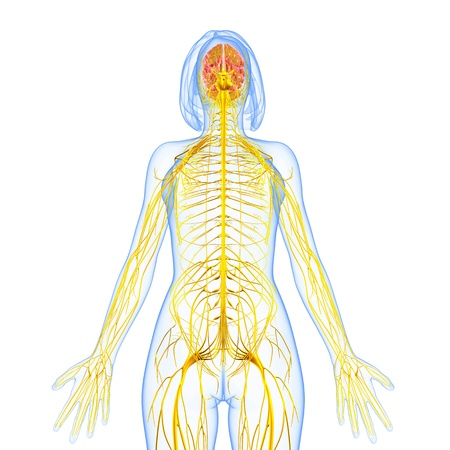 女性の神経系前面展望