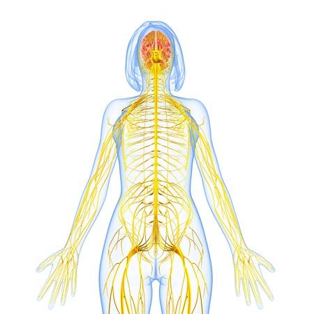 nervios: femenino sistema nervioso vista frontal