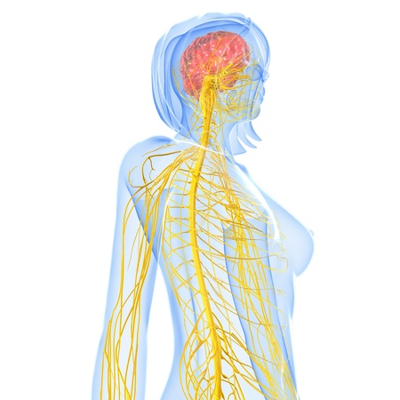 central cord: Nervous system, artwork  Stock Photo