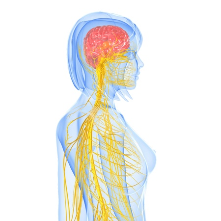 central nervous system: Nervous system