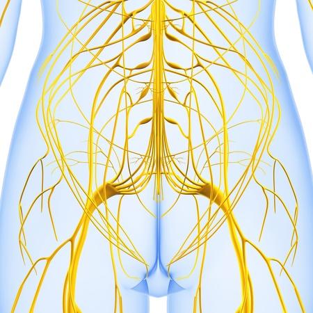 nerve system: 3d art illustration of Nervous system