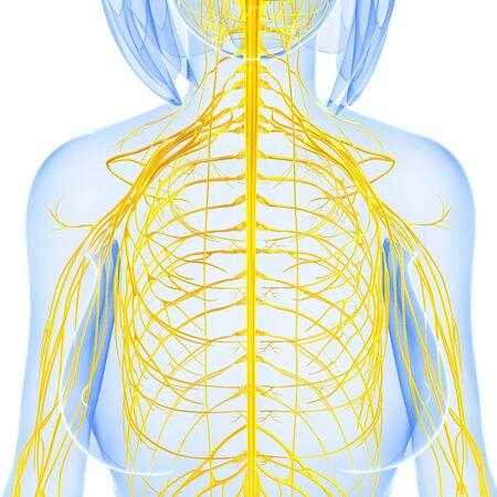 sistema nervioso central: Ilustración del arte 3d de la parte delantera del sistema nervioso femenino
