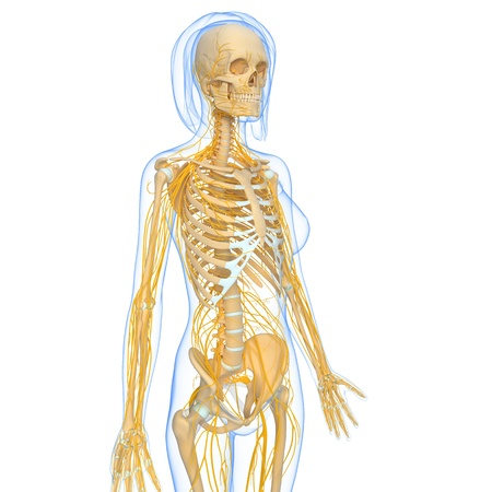 3d art illustratin of side view of female Nervous system Stock Photo - 15181712