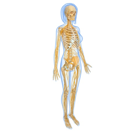 Front view of female full body nervous system isolated on black 15181680 full body view of female nervous system ccuart Images
