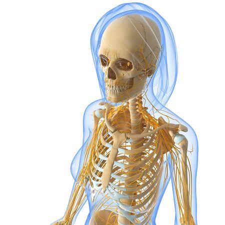 sistema nervioso central: vista lateral frontal del sistema nervioso femenino