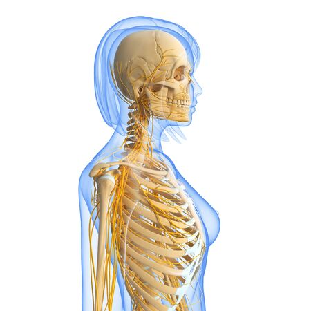 sistema nervioso central: vista lateral del sistema nervioso femenino aislado sobre fondo blanco