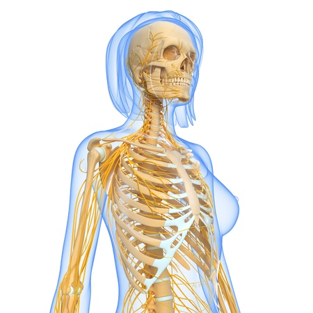 side view of female Nervous system in white Stock Photo - 15181718