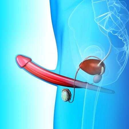 testiculos: sistema reproductivo masculino en azul Foto de archivo