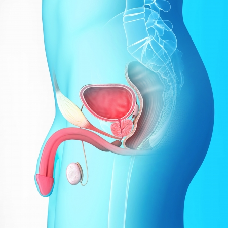 male reproductive system isolated with blue  undefined  male reproductive system isolated with blue