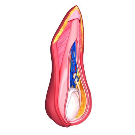 urogenital: Hombre capas escrotales