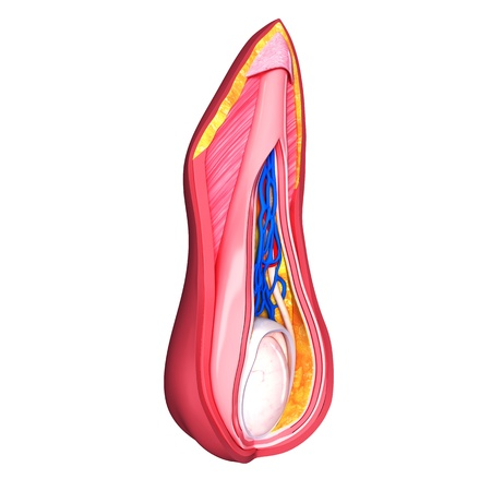 urogenital membrane: Male scrotal layers