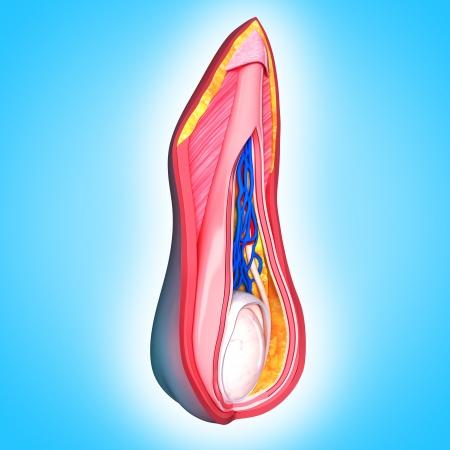 pene: capas escrotales aislados con azul