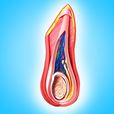 midsagittal: Reproductive Scrotal layers