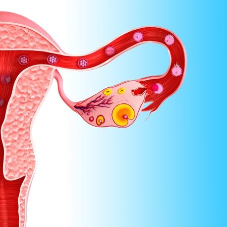 ovary: ovario femenino Foto de archivo