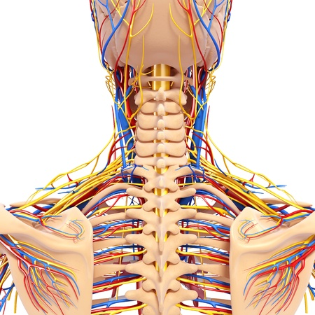 circulatory and nervous system of back view of back  photo