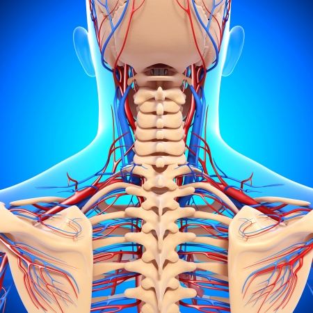 circulatory system of back view of back isolated in blue photo