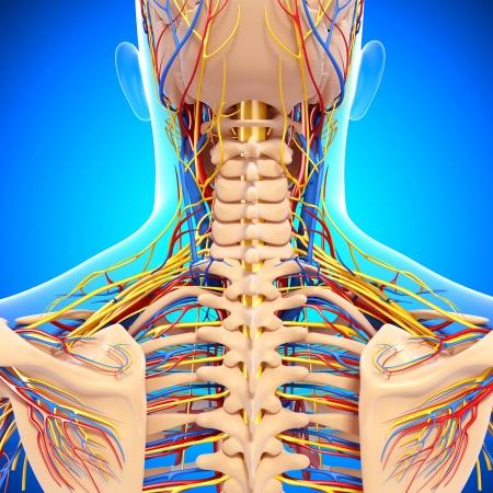 sistema nervioso: circulatorio y el sistema nervioso de la vista posterior de la espalda aislado en azul