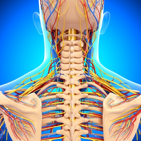 nervous: circulatory and nervous system of back view of back isolated in blue