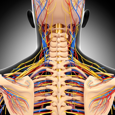 circulating: circulatory and nervous system of back view of back isolated in gray