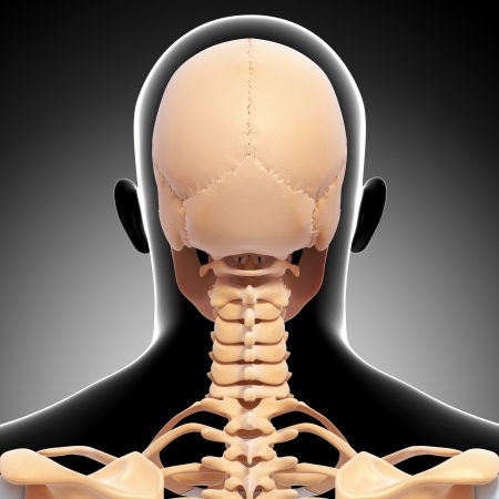 back view of human skeleton isolated on gray background photo