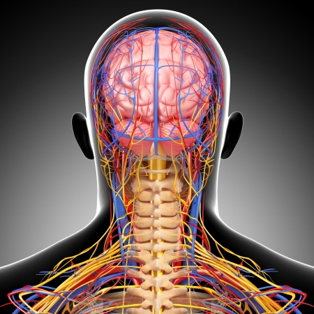 physiology: circulatoryand nervous system of back view of brain isolated in gray Stock Photo