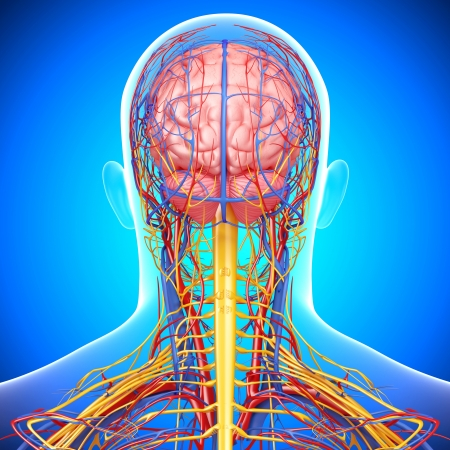 circulatory: circulatoryand nervous system of back view of brain isolated in blue Stock Photo