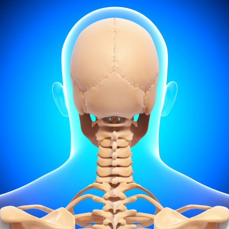 human skeleton back view isolated in blue background photo