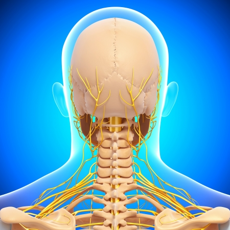 back view of human skeleton isolated on blue with nervous system photo