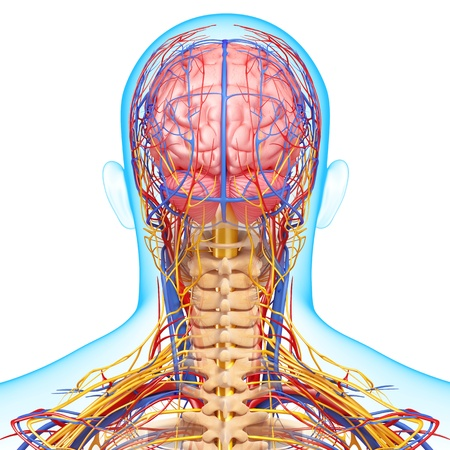 circulating: back view of circulatory and nervous system of back view of brain Stock Photo