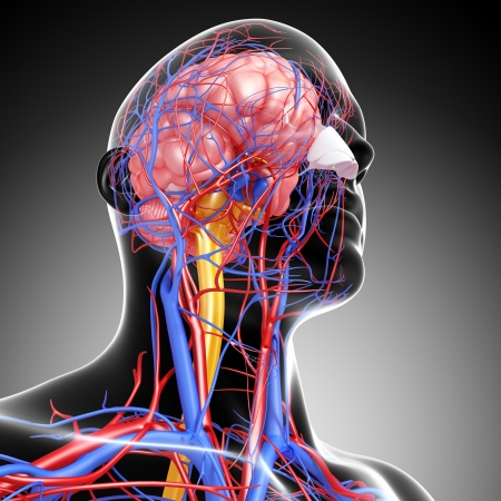 head circulatory system isolated in gray photo