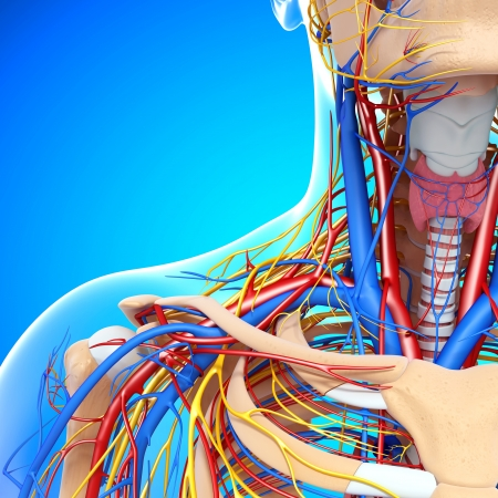 circulating: circulatory and nervous system of front half view of throat isolated with blue background Stock Photo