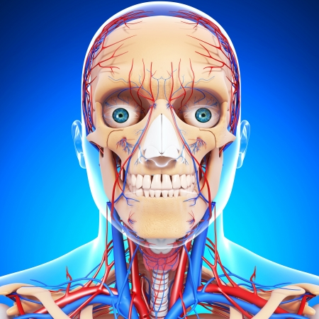 nervous head throat, teeth and circulatory system isolated in blue photo