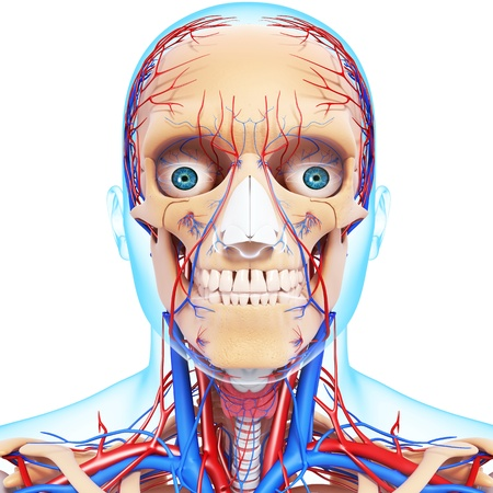 nervous head throat, teeth and circulatory system isolated in white photo