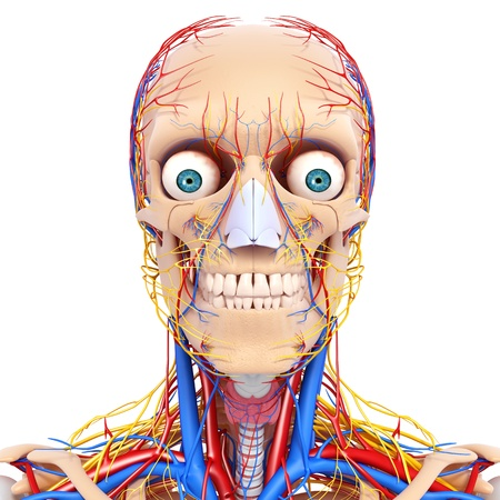 circulating: front view of head circulatory and vervous system isolated with white background