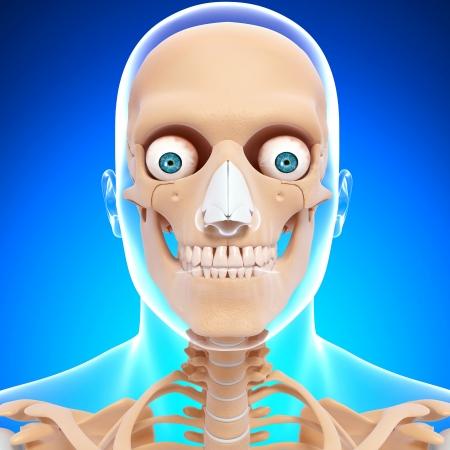 human skeletal nervous system with blue background photo