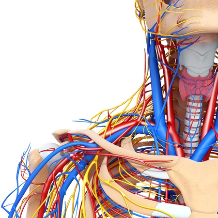 throat: front half view of throat circulatory and nervous system isolated with white background Stock Photo