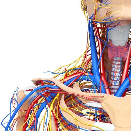 fisiologia: vista mitad delantera de la garganta circulatorio y el sistema nervioso aislado con el fondo blanco Foto de archivo