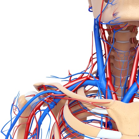 front half view of throat circulatory system isolated with white  photo