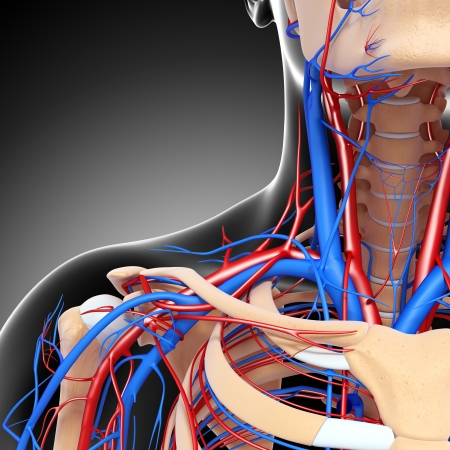aorta: front half view of throat circulatory system isolated with gray Stock Photo