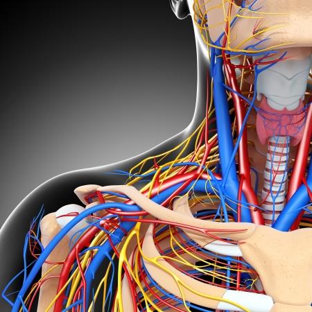 circolazione: vista met� anteriore del sistema circolatorio gola isolato con sfondo grigio