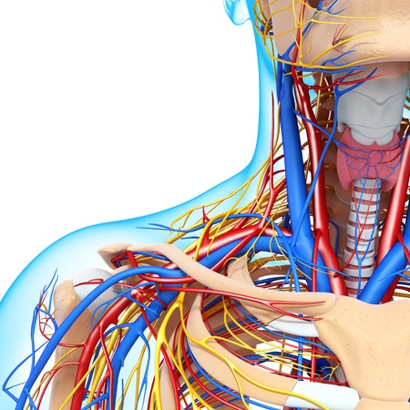human vein  heartbeat: front half view of throat circulatory system isolated with white background