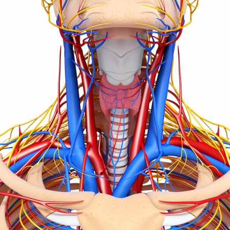 human vein heartbeat: front view of throat circulatory system isolated with white background