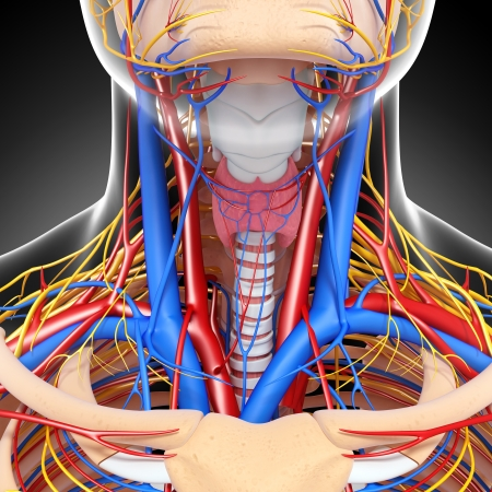 circulatory: front view of throat circulatory system isolated with gray background