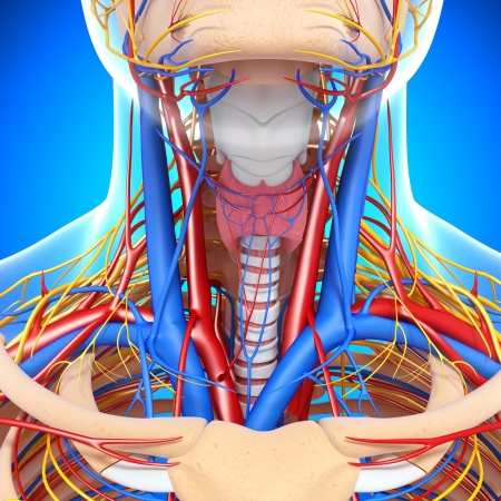 blood circulation: front view of throat circulatory system isolated with blue background