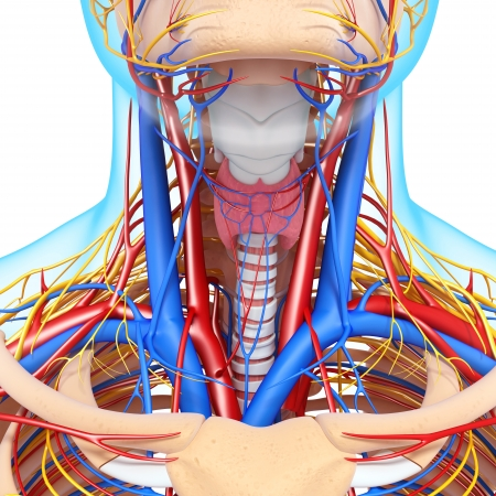 blood circulation: front view of throat circulatory system isolated with blue boundry