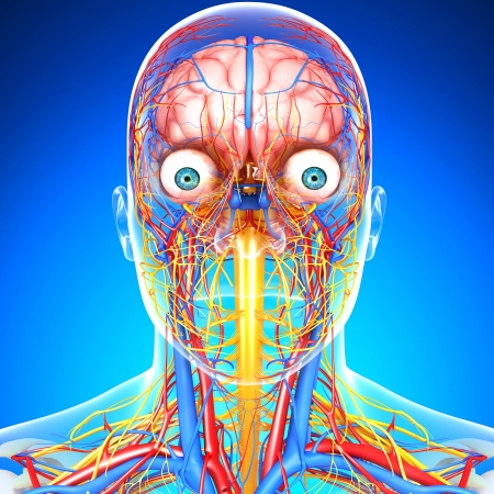 circulating: side view of head circulatory system isolated with blue
