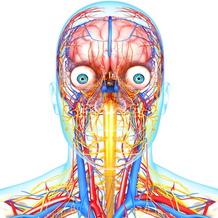 side view of head circulatory system with blue background isolated with white photo